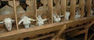 Сколько коза дает молока?