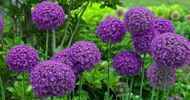 Лук слизун: полезные свойства и противопоказания мангыра