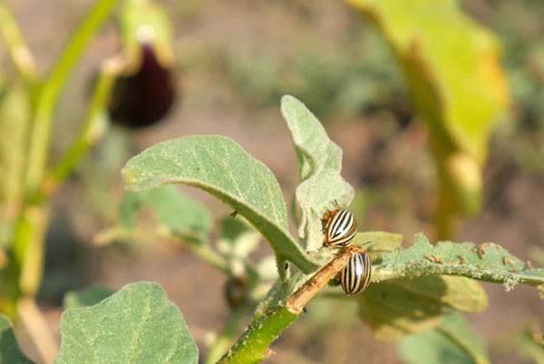 Как избавиться от тли и других вредителей на рассаде баклажанов