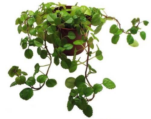 Выращивание плектрантус дома: уход, размножение, вредители и болезни, значение для жильцов