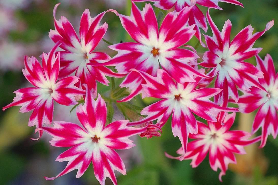 Портулак: выращивание из семян в саду