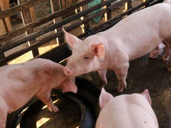Откорм свиней в домашних условиях: правила откорма, нормирование рациона, особенности питания