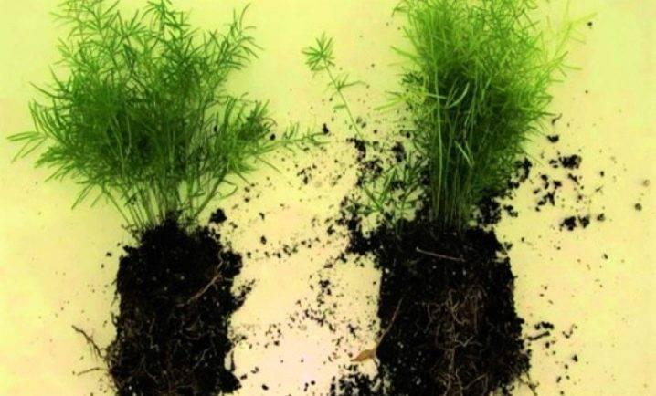 Спаржа: особенности выращивания рассады и другие способы размножения