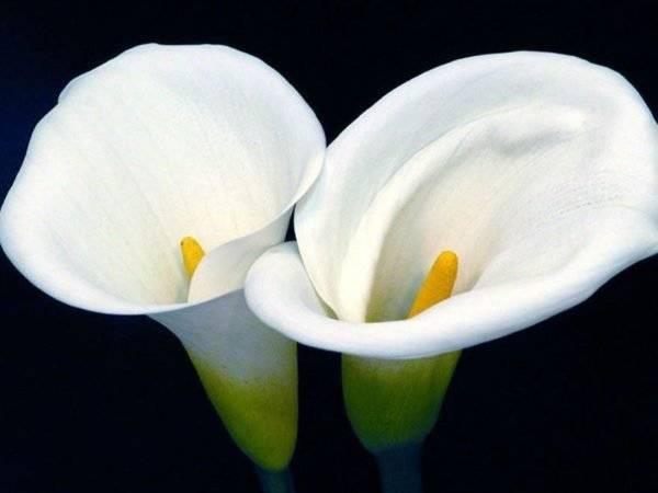 Популярные каллы и их разновидности. цветки, похожие на данное растение