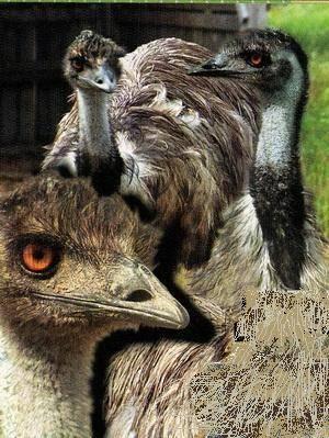 Содержание страусов в домашних условиях, видео