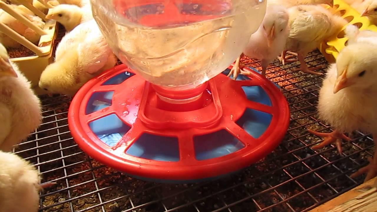 Температурный режим для цыплят несушек