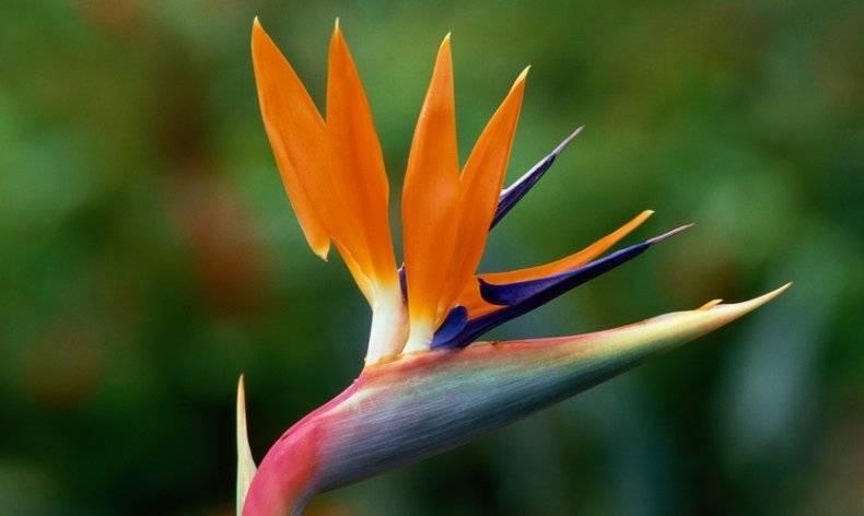 Цветок стрецилия (стрелиция) - особенности ухода дома, грунт