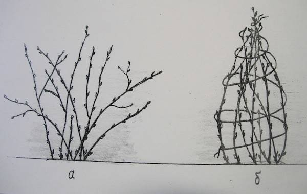 Смородина осенью: уход, обрезка, подкормка, полив. когда проводить эти работы