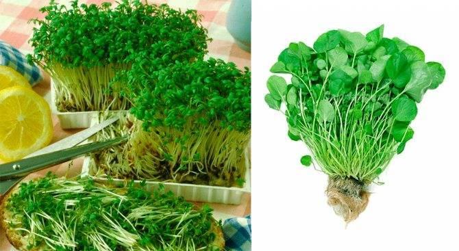 Кресс-салат: выращивание семенами в открытом грунте и на подоконнике, лучшие сорта для посадки