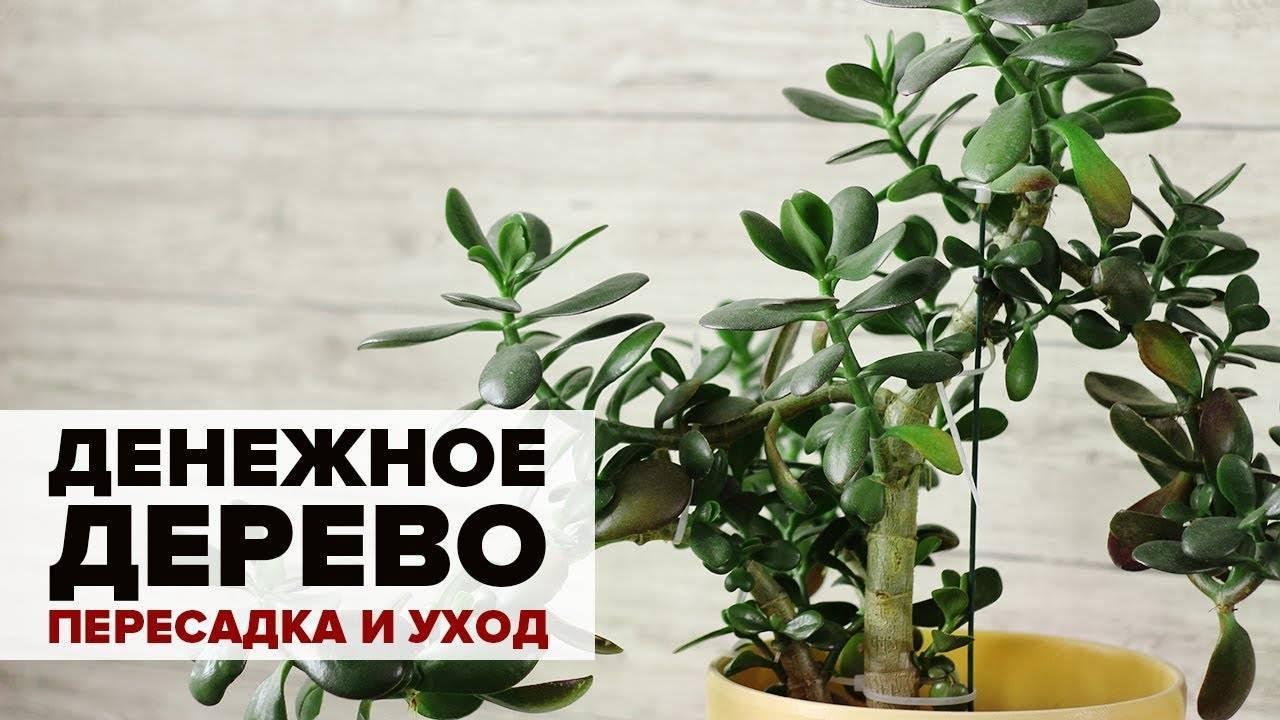Денежное дерево – толстянка или крассула. уход в домашних условиях