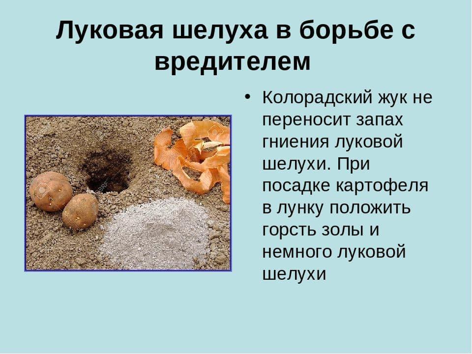 Подкормите огурцы настоем луковой шелухи