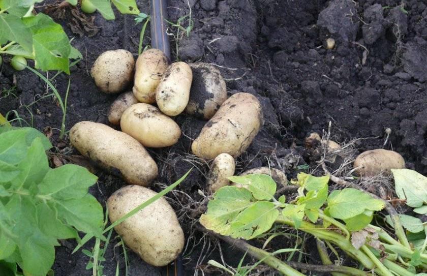 Ранние сорта картофеля — общая информация