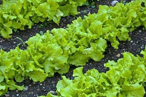 Выращивание салата в открытом грунте