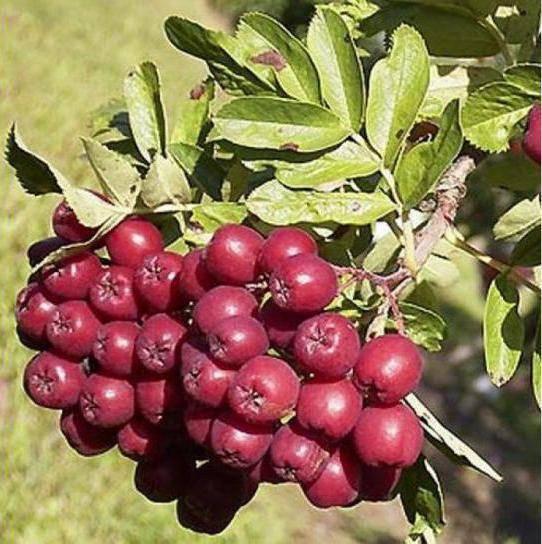 Полезные свойства рябины – одной из самых целебных ягод