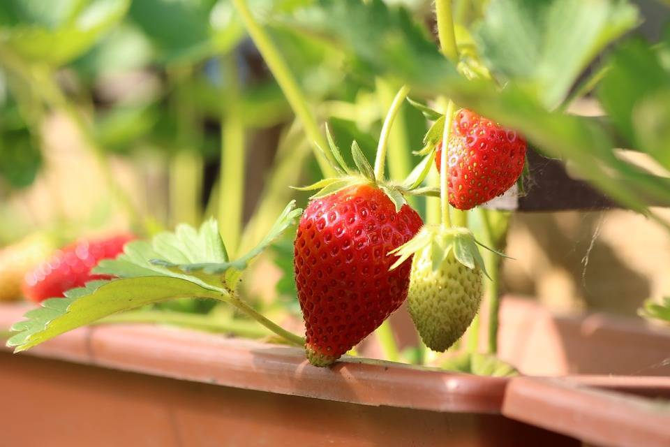 Круглогодичное выращивание клубники из семян в домашних условиях с возможным применением на рассаду