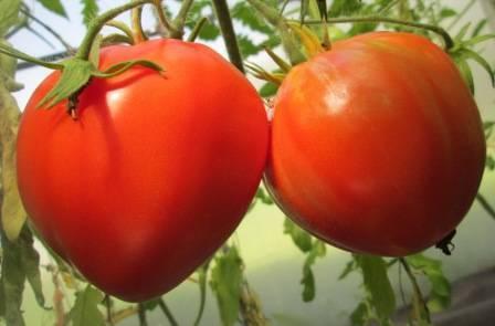 Лучшие сорта помидоров для открытого грунта: обзор