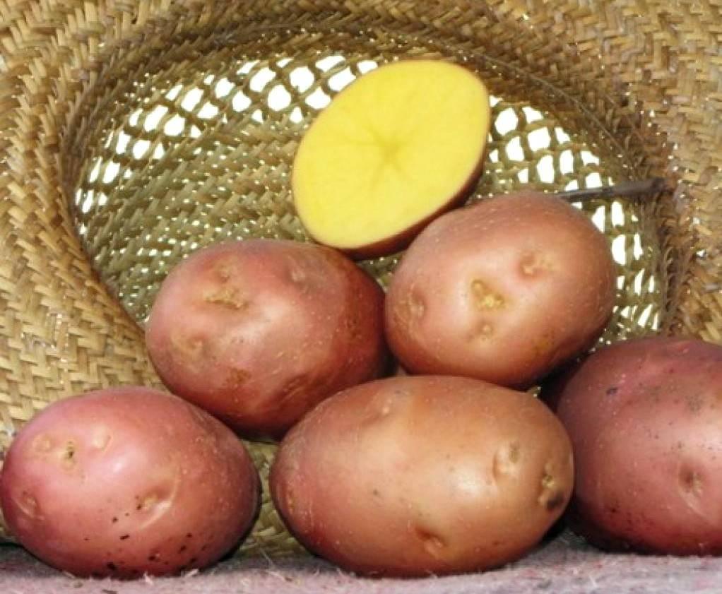 Сколько растет и созревает картофель от посадки до сбора урожая: этапы