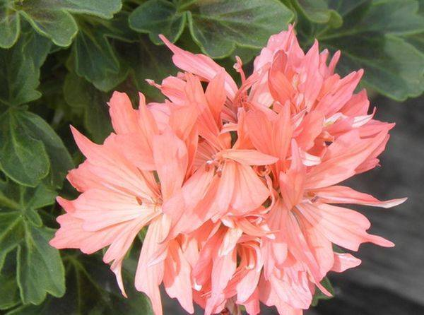 Красавица пеларгония звездчатая: все о растении и уходе за ним