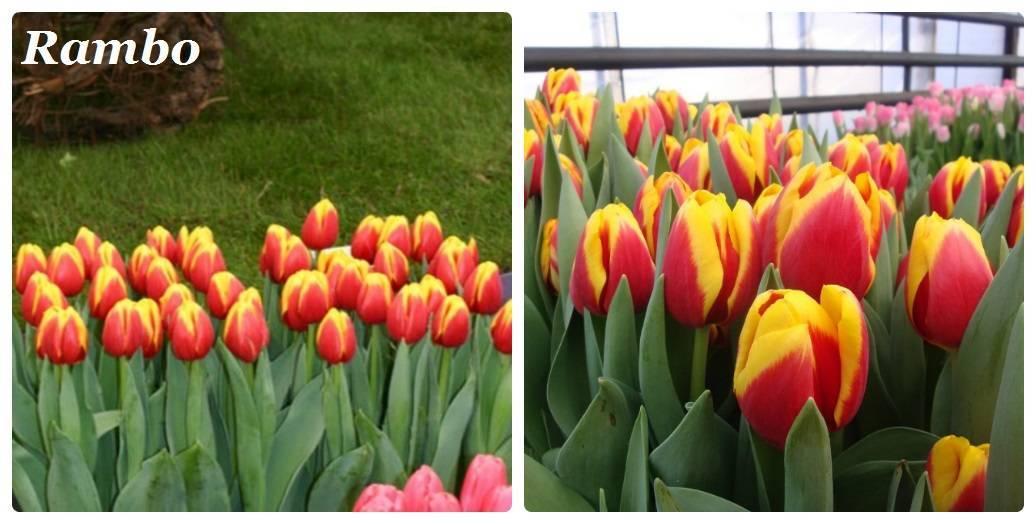 Выгонка тюльпанов. срезка и хранение