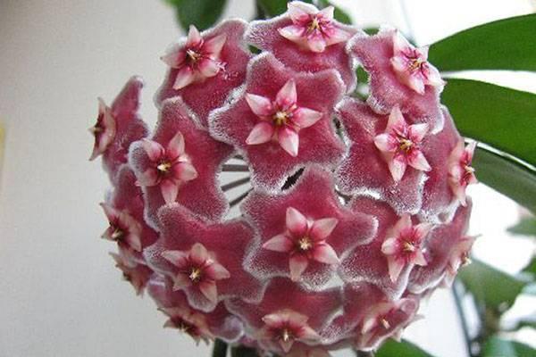 Практические советы по выращиванию и уходу за тропической красавицей hoya obovata