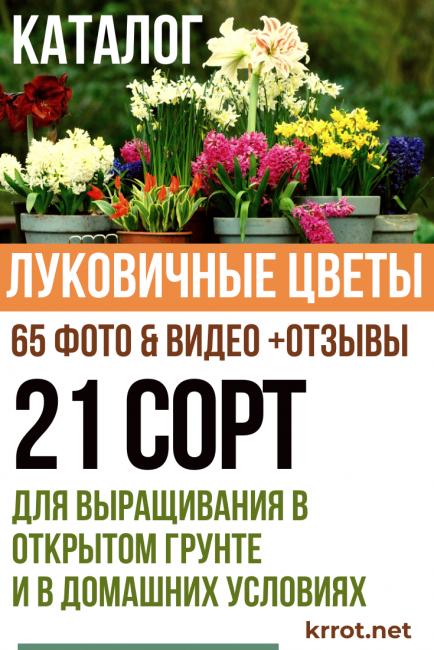 Декоративный лук— эффектное украшение любого сада