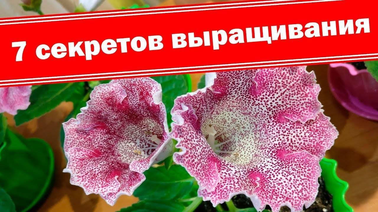 Цветение глоксинии и основные трудности, с которыми сталкиваются цветоводы