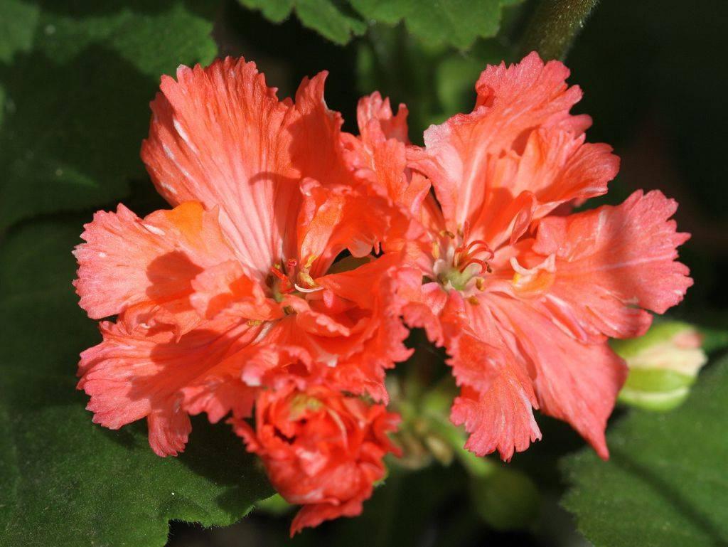 Как вырастить герань из семян в домашних условиях