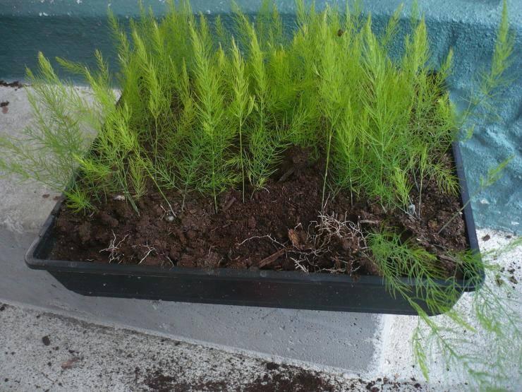 Как посадить и вырастить в открытом грунте королеву грядок — спаржу?