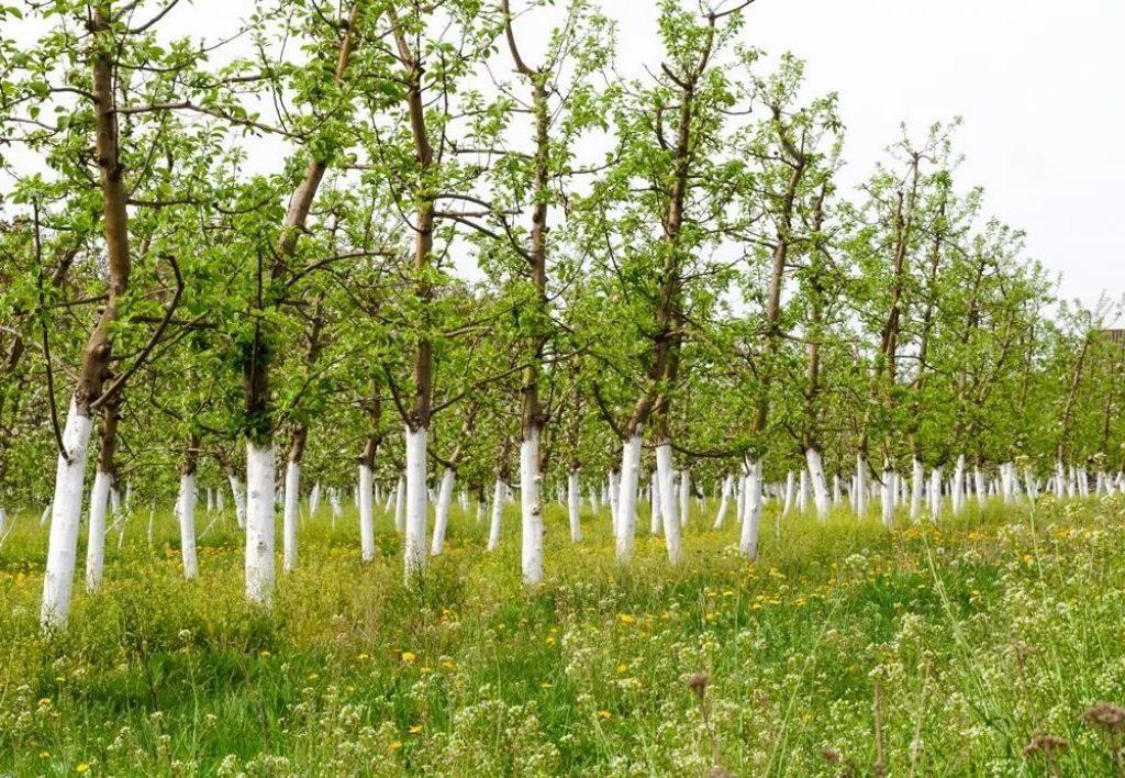 Побелка деревьев - важно и необходимо