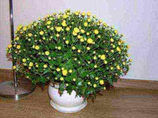 Хризантема – осенняя красавица. особенности ухода и размножения цветка