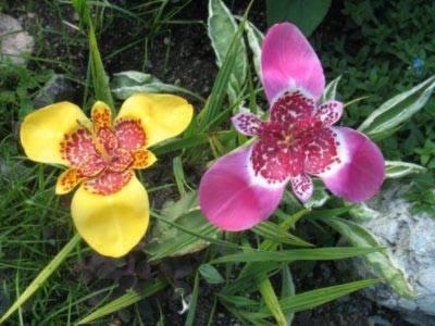 Тигридия: фото и виды, посадка и уход в открытом грунте