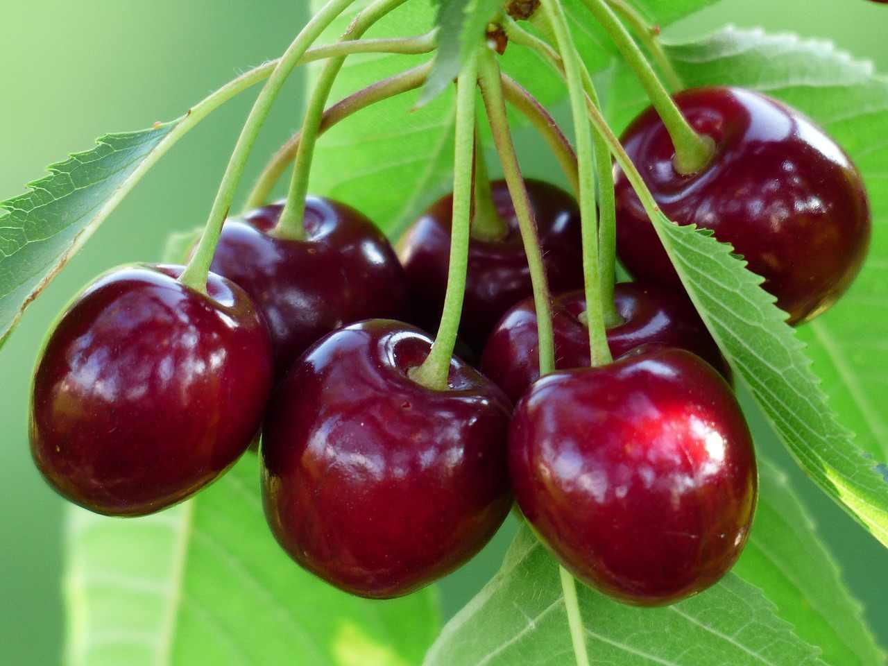 Все нюансы выращивания сорта вишни шоколадница