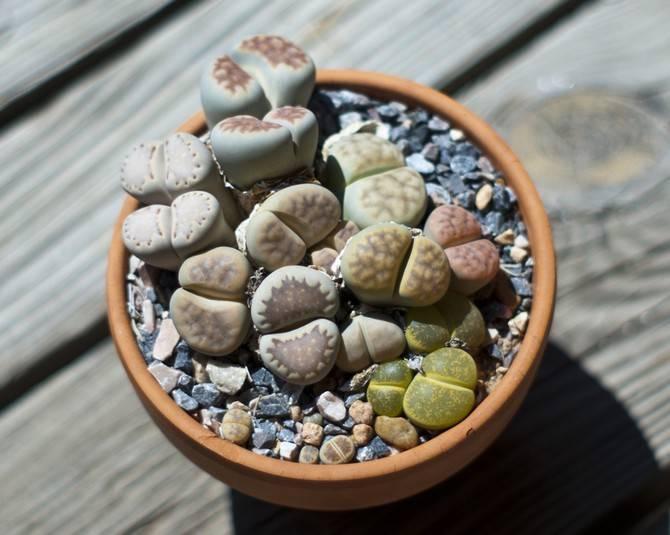 Экзотические суккуленты литопсы: уход в домашних условиях за оригинальным растением, похожим на живые камни