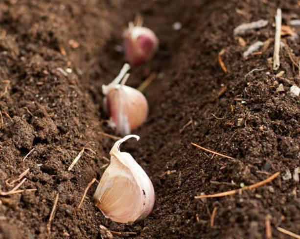 Как сажать чеснок осенью — сроки и правила осенней посадки чеснока