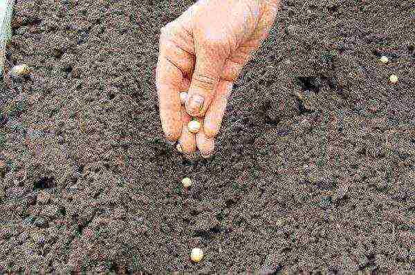 Как вырастить горох на приусадебном участке