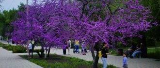 Украшение сада — дерево церцис