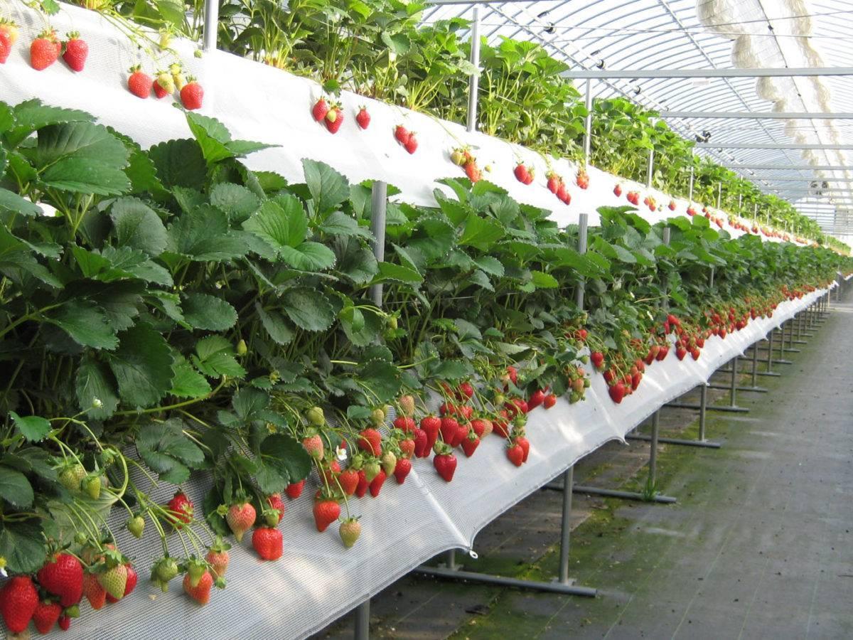 Клубника на гидропонике:технология выращивание
