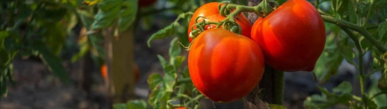 Томат — мишка косолапый: описание сорта и агротехника выращивания
