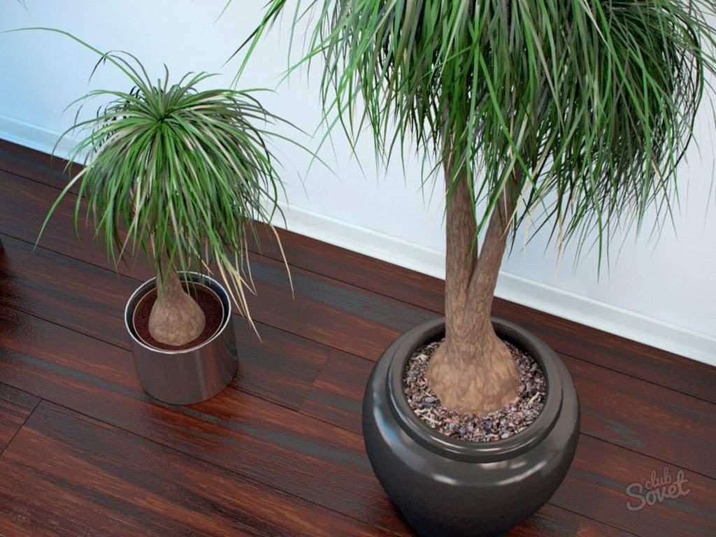 Уход за пальмой в домашних условиях, требования к содержанию