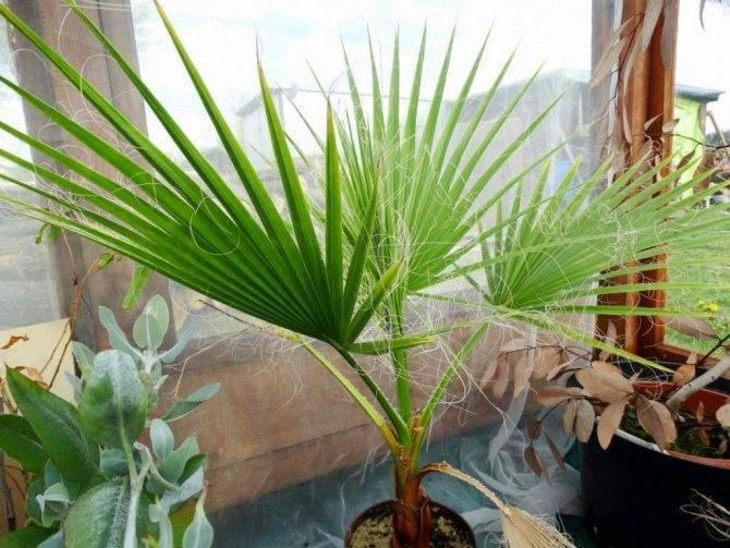 Вашингтония — самая массивная веерная пальма