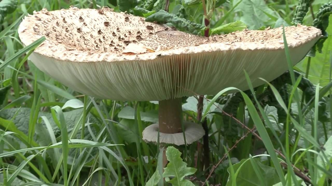Как готовить грибы зонтики