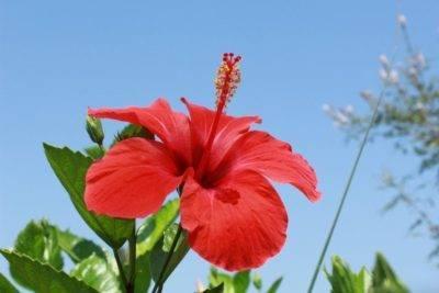Цветки гибискуса для похудения