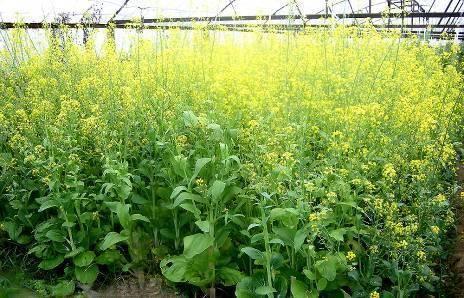 Как посадить и вырастить брокколи на даче в открытом грунте