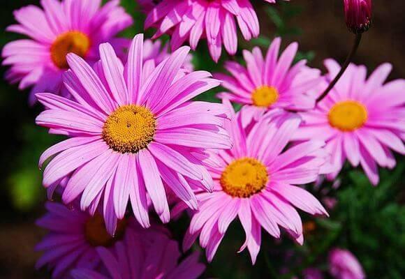 Посадка и уход за пиретрумом, разновидности цветка и правила выращивания