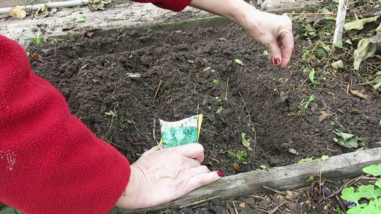 Весенняя посадка семян укропа в открытый грунт