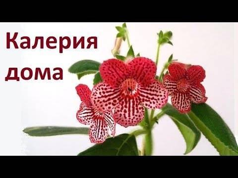 Калерия: уход за цветком в домашних условиях