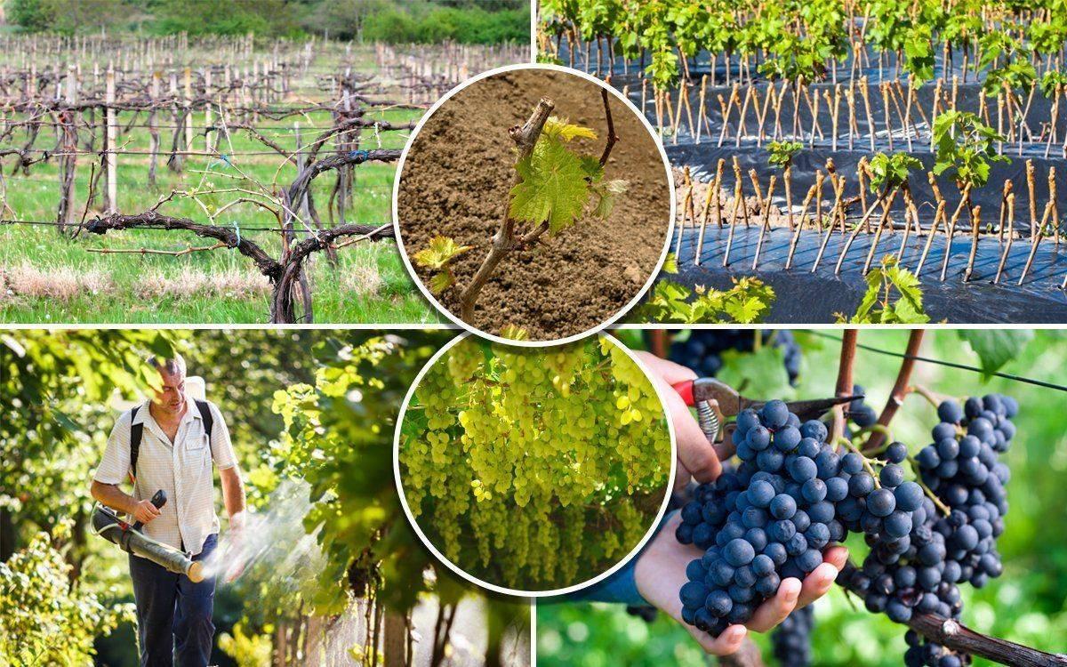 Как осуществлять летний уход за виноградом, чтобы получить хороший урожай?