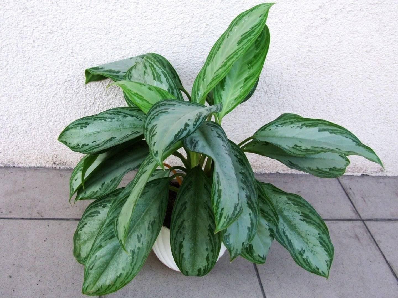 Отчего хойя не растёт, почему у нее желтеют или опадают листья, что делать? болезни и вредители цветка