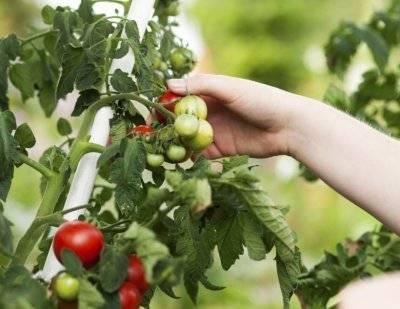 Удобрение азофоска – применение на огороде, для чего нужна?