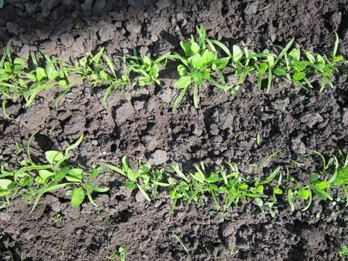 Как выращивать кресс-салат дома и на грядке — простые правила посадки и ухода